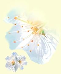 Blume Kirschblüte