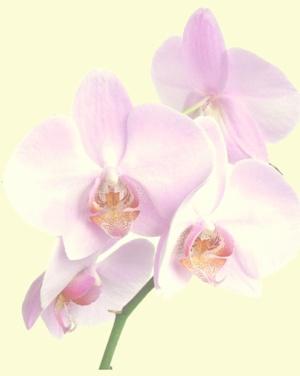 orchid-blass
